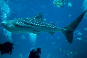 Whale sharks: How to spot the highly nomadic giants in Anambas