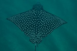Manta Rays: They are the oddest!